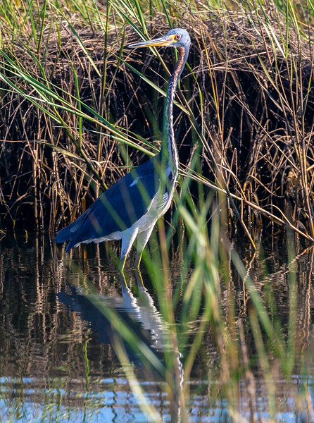 Tricolor Heron wading near the flock