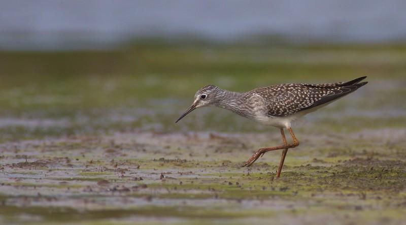 Lesser Yellowlegs Kimmes-Tobin Wetlands Douglas Co WI Lesser Yellowlegs Kimmes-Tobin Douglas Co WI IMG_0064707.jpg