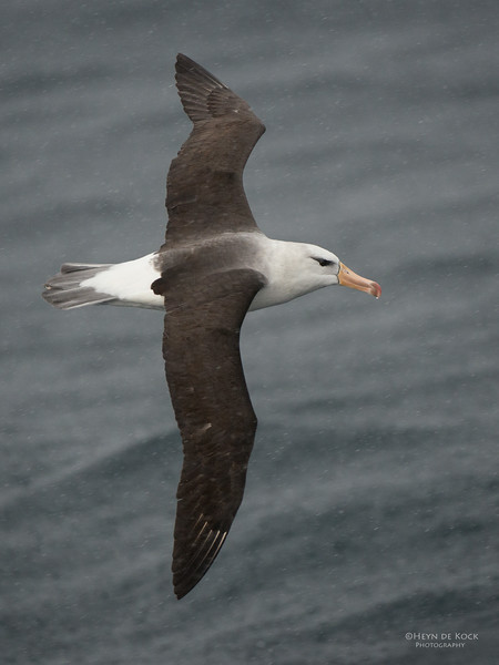 Black-browed Albatross, Wollongong Pelagic, NSW, Aus, Aug 2014-4.jpg