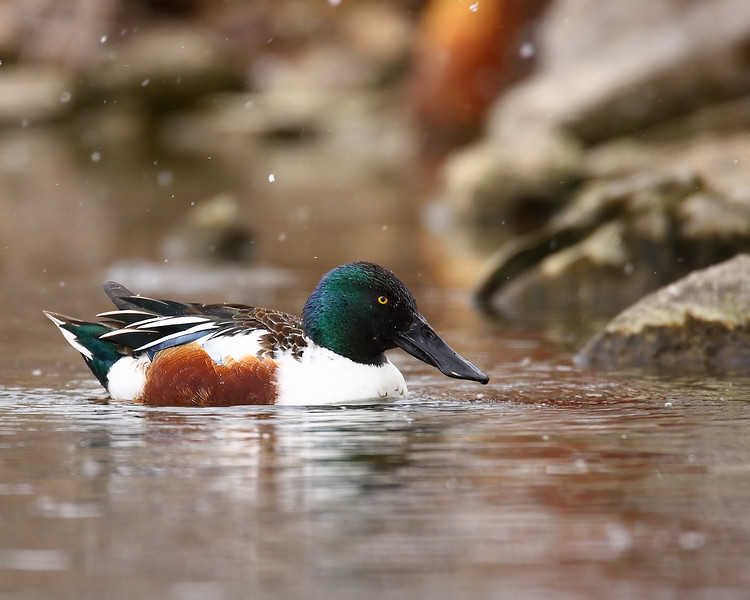 Shoveler by Rocks.jpg