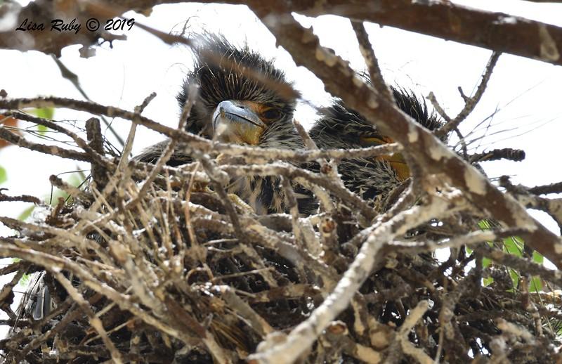 Night Heron Nestlings  - 6/24/2019 - Imperial Beach Sports Park