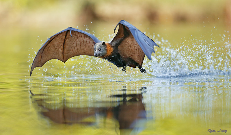 Grey-headed Flying Fox 5.jpg