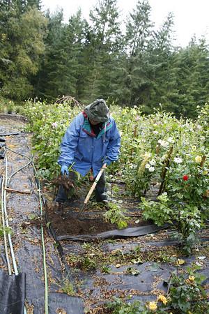 Dahlia Tuber Harvest