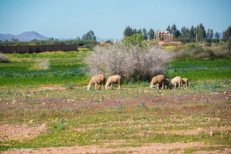 כבשים במרעה.jpg