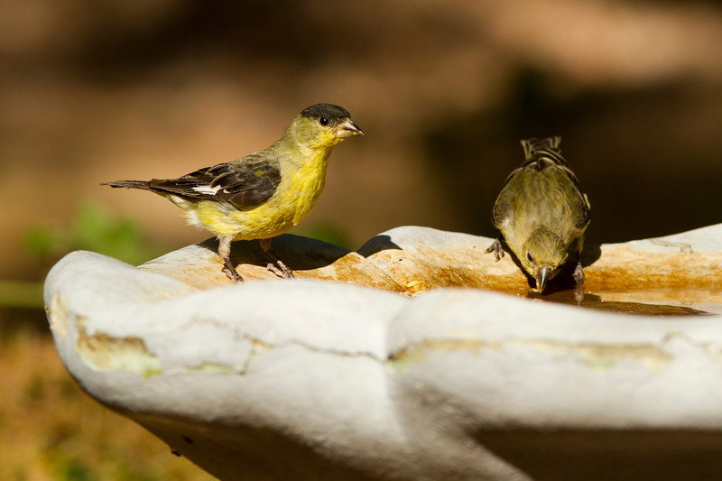 Lesser Goldfinch (Green-Backed, Male and Female)