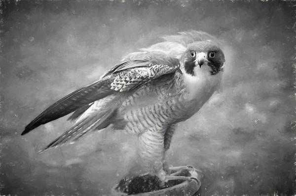 Peregrine bird of prey