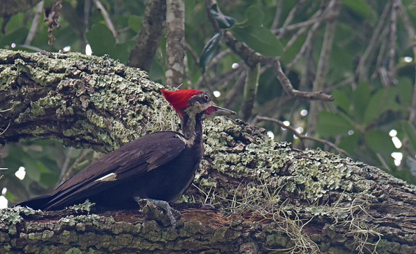 Pileated Woodpecker at 309 RR