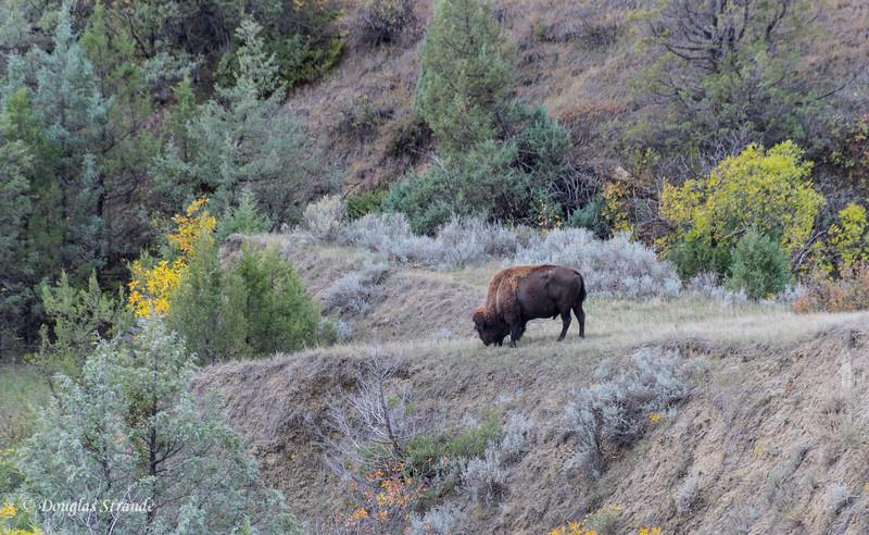 Bison Bull Grazing