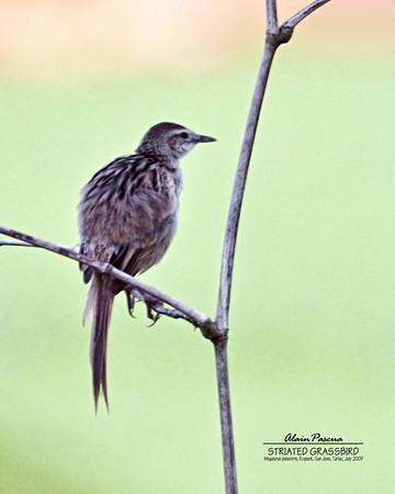 Warblers, Grassbirds