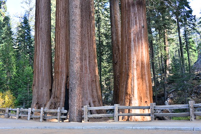 Sequoia NP-CA