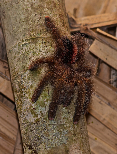 Young Goliath Bird Eating Spider
