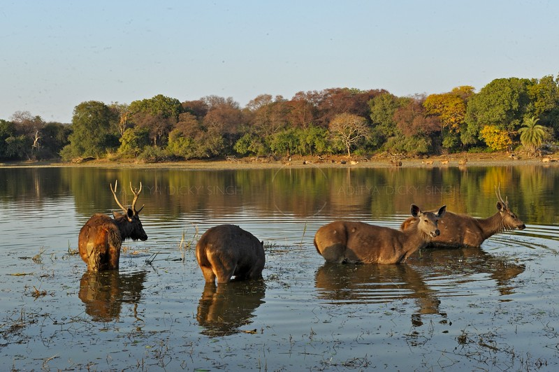 Sambar Deer (Cervus unicolor niger) grazing in a lake in Ranthambore national park