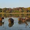 Ranthambhore - The more common sights : These are some of the more common sights of Ranthambhore national park in India. The park is famous for tigers, which are elusive animals. However on a regular safari you should be able to see almost all the sights in this gallery