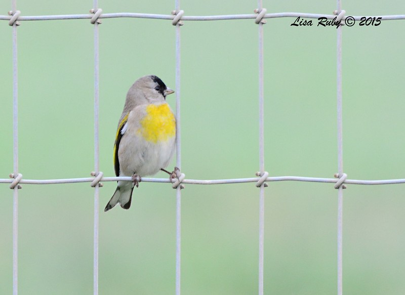 Lawrence's Goldfinch - 2/19/15 - Sycamore Canyon Rd, Poway