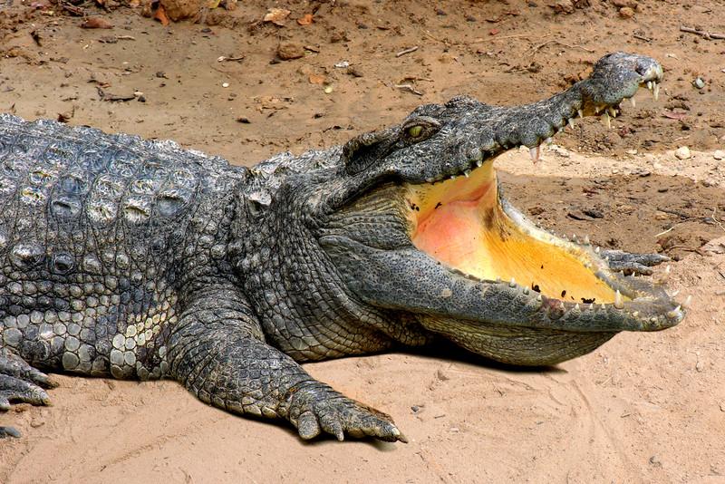 SIAMESE CROCODILE - TONLE SAP