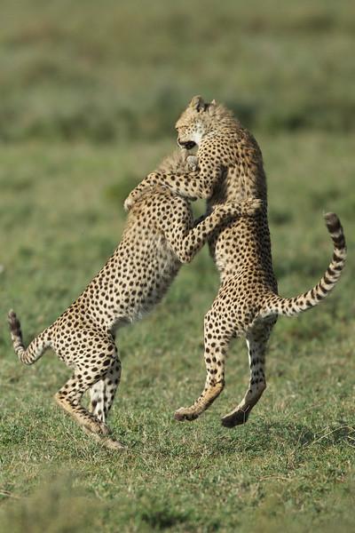 Cheetah Collision