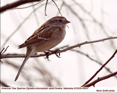 AmericanTreeSparrow40637.jpg