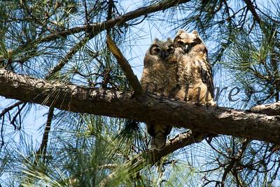 Owl  123