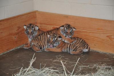 Tiger Cubs @ San Diego Zoo 5/22/2008