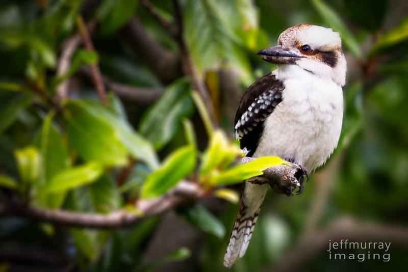 Kookaburra in the old Magnolia Tree