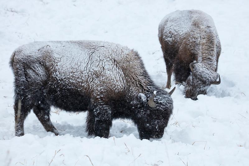 387A9374 Bison in snowstorm.jpg