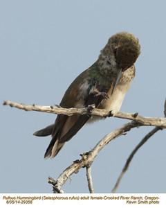 Rufous Hummingbird F29356.jpg