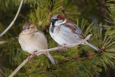 European Sparrows