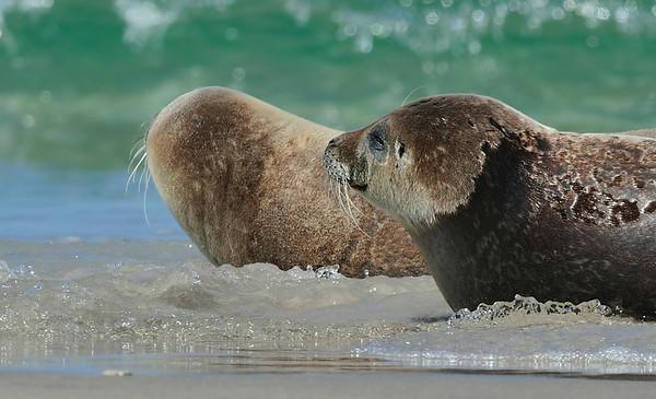 Zeehond; Phoca vitulina; Common seal; Phoque commun; Seehund