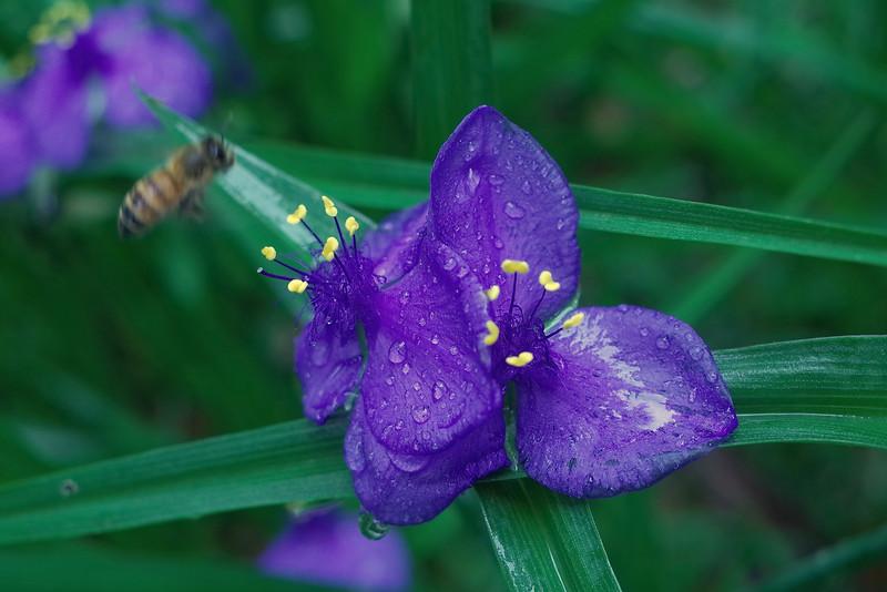 LTD_2015-04-12_0816 virginia spiderwort