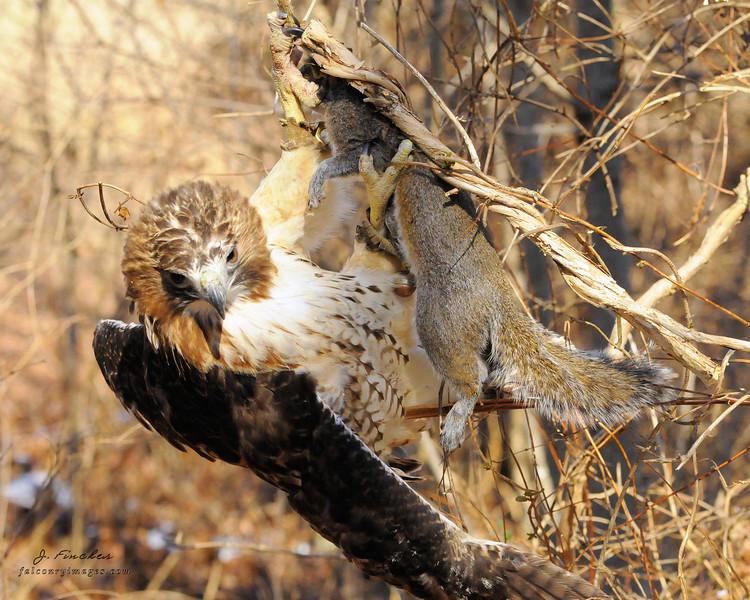 redtail hawk hanging in vine with squirrel.JPG