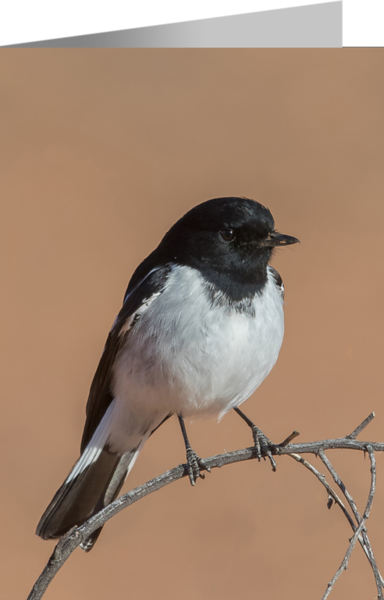 Hooded Robin.png