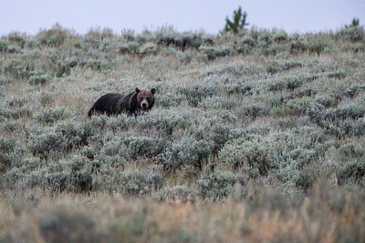 Grizzly (Aug 22-23 Hayden Valley)
