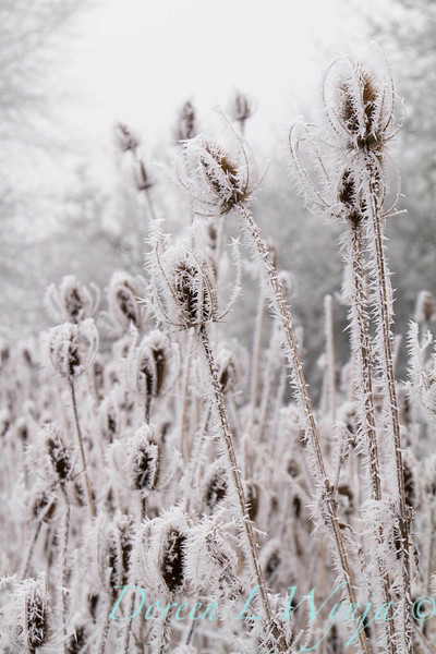 Winter frosted thistles_9448.jpg