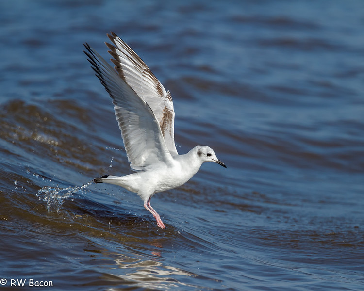 Bonaparte's Gull.jpg
