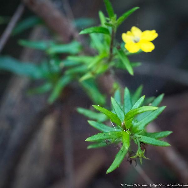 Goodenia heterophylla, Lane Cove NP