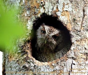 Eastern Sceech-Owl  (Otus asio)