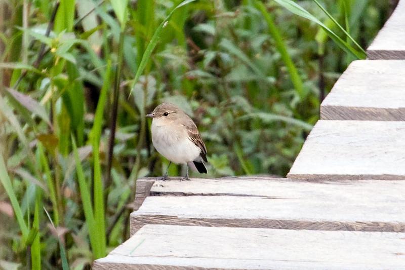 Little Ground-Tyrant (2) at Macaw Lick near Manu Wildlife Center, Peru (2008-07-10).psd
