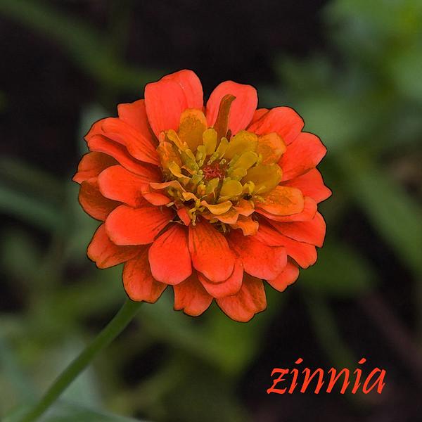 Zinnia 01