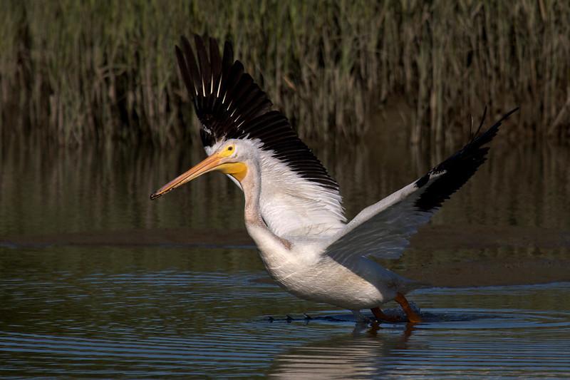 American White Pelican flight series (frame 3)