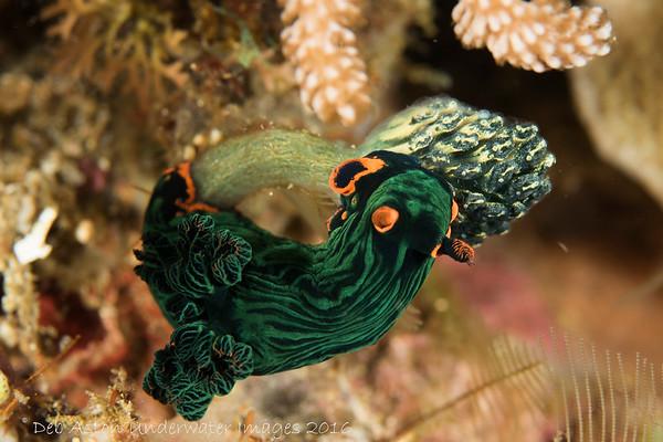 Lembeh Strait Nudibranch