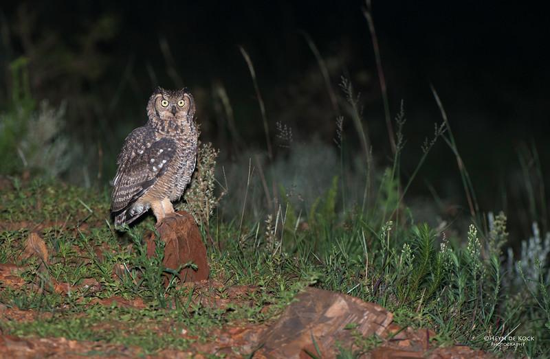 Sptted Eagle-owl, Ithala NP, KZN, SA Jan-2014-1.jpg