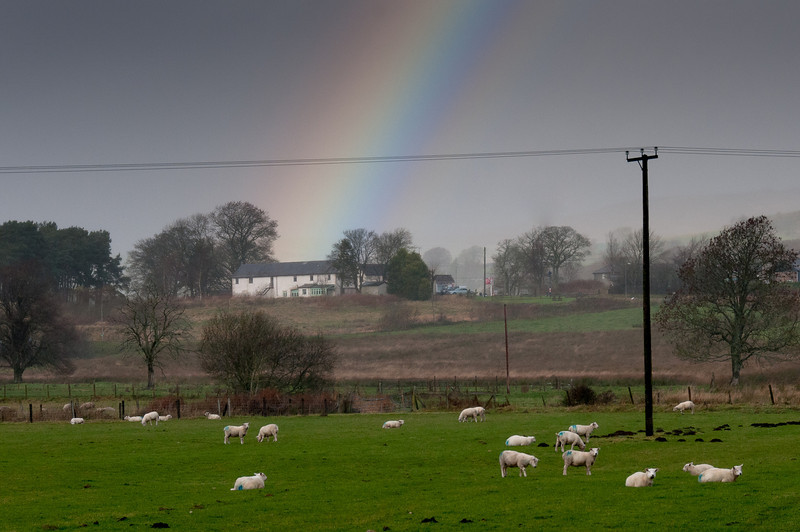 Cows grazing the green fields with rainbow in Wales, England