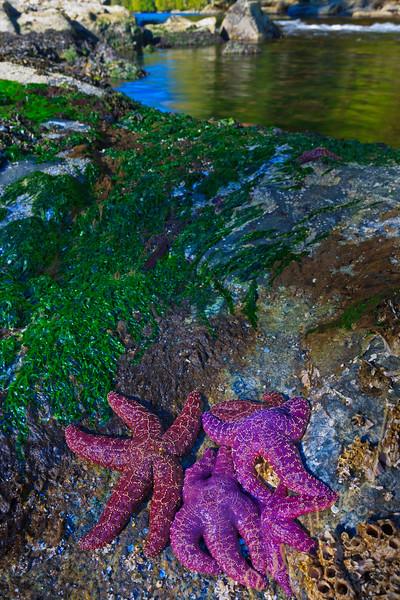 Starfish in lagoon, Great Bear Rainforest, British Columbia Coast, Canada.
