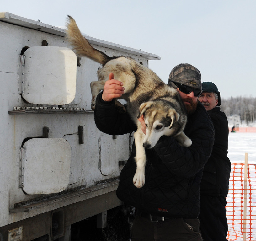 . James Volek pulls one on his dogs out of a truck before the Iditarod Trail Sled Dog Race, Sunday, March 3, 2013, in Willow, Alaska. 65 teams will be making their way through punishing wilderness toward the finish line in Nome on Alaska\'s western coast 1,000 miles away. (AP Photo/The Anchorage Daily News, Bob Hallinen)