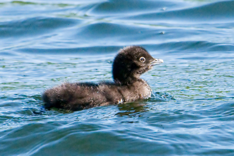 Loon - Common - baby - Dunning Lake, MN - 01