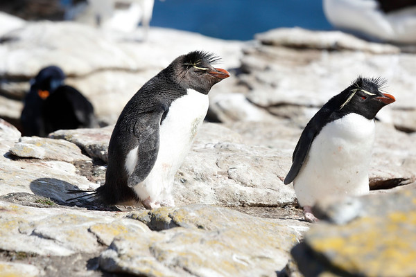 Rockhopper Penguin Falklands