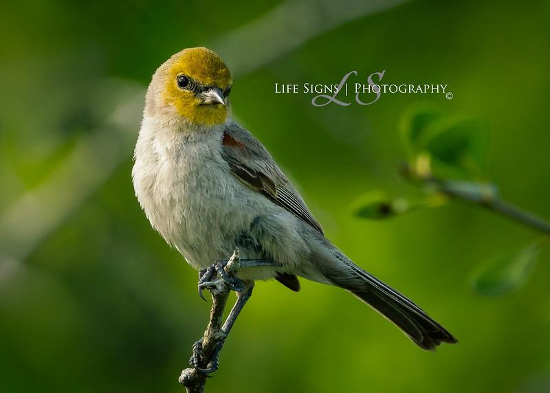 LS - Birds - Verdin-1.jpg