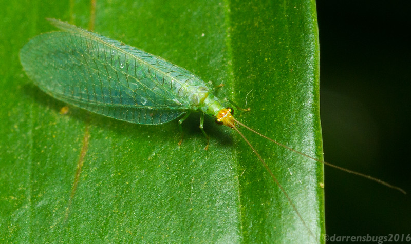 Green lacewing (Chrysopidae) from Monteverde, Costa Rica.
