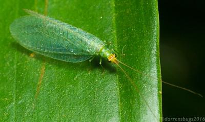 Lacewings, Mantidflies, Antlions, and kin