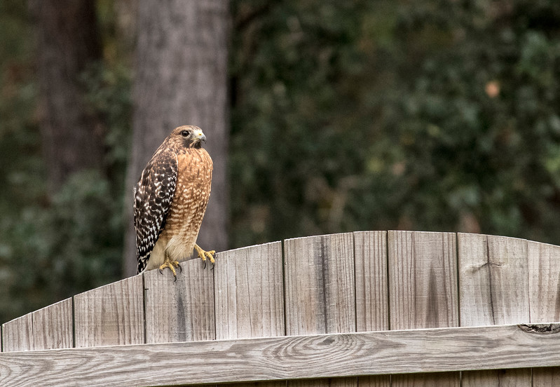 MMG_Red Shouldered Hawk Mount Pleasant SC_3.jpg